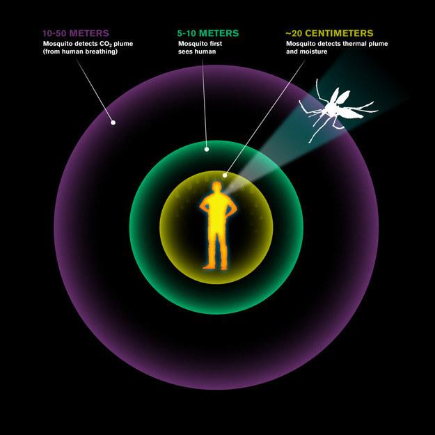 Różne zmysły pomagają komarom lokalizować człowieka z różnej odległości /Lance Hayashida/Caltech /RMF24