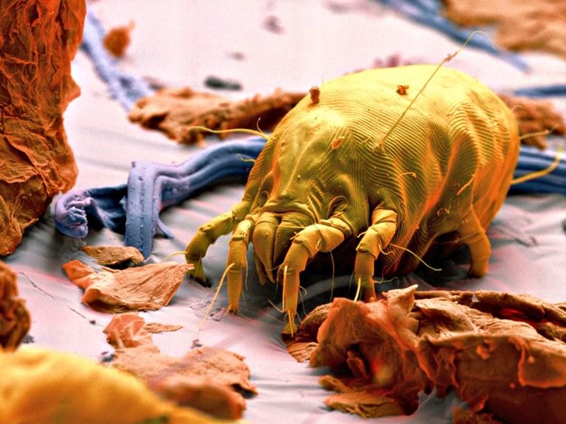 Roztocza są nieproszonymi gośćmi w naszych łóżkach. Są ich tysiące, jeśli nie miliony! /EYE OF SCIENCE/Science Photo Library /East News