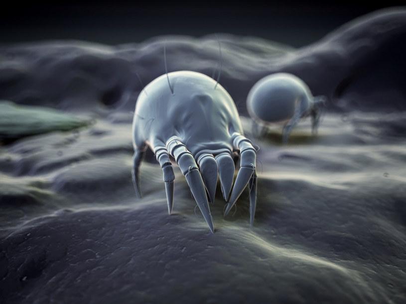 Roztocza to bardzo małe pajęczaki, których nie dostrzeżemy bez mikroskopu /123RF/PICSEL