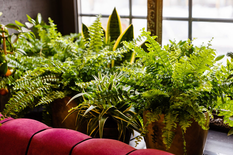 Rozważ ustawienie w domu roślin, które filtrują powietrze ze szkodliwych związków /123RF/PICSEL