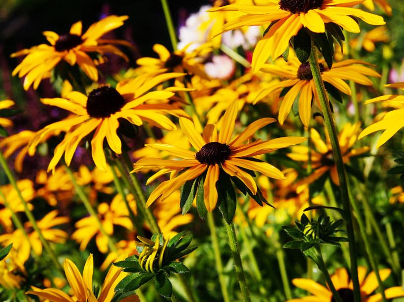 Rudbekia to mało wymagająca, łatwa w uprawie roślina ozdobna /123RF/PICSEL