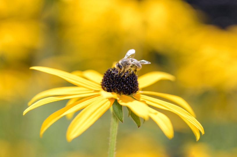 Rudbekia to roślina lubiana przez pszczoły i motyle /123RF/PICSEL