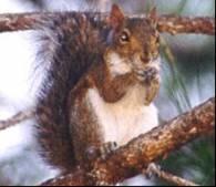 Rudych wiewiórek jest na Wyspach coraz mniej /Archiwum