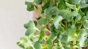 Rukiew wodna najzdrowszym warzywem