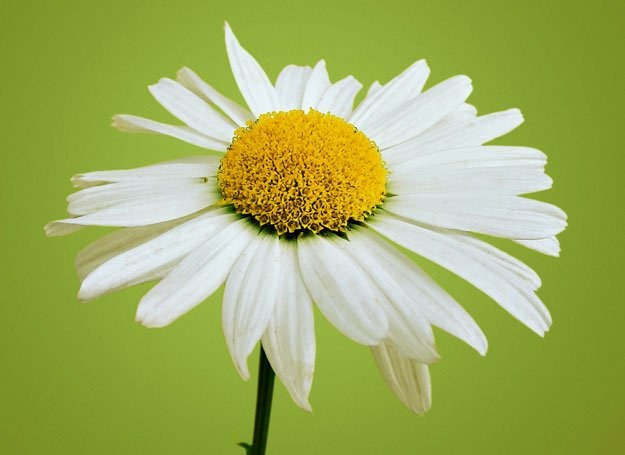 Rumianek jest rośliną bardzo powszechną, rosnącą niemal na każdej polskiej łące