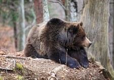 Rumunia: Zabił jednego z największych niedźwiedzi w Europie. Książę oskarżony