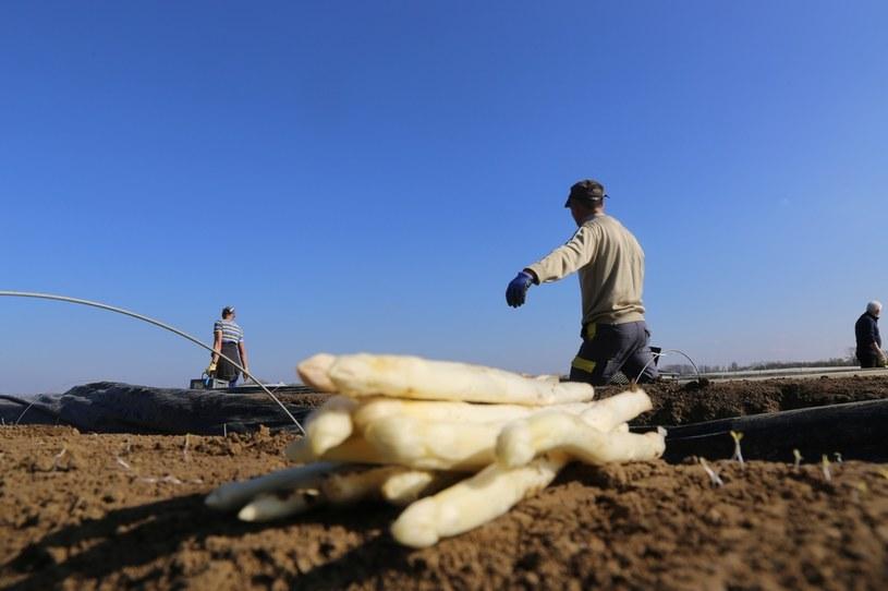 Rumuńscy pracownicy sezonowi twierdzą, że zostali oszukani przez niemieckich pracodawców /123RF/PICSEL