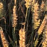 Rusza nabór wniosków o dopłaty dla rolników poszkodowanych przez suszę