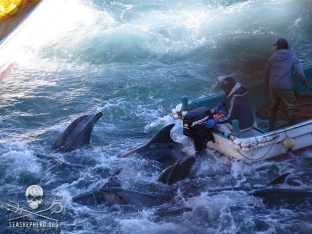 Rybacy zwabiają ssaki do pobliskiej zatoki, zabijają część z nich, a pozostałe sprzedają do delfinariów /SEA SHEPHERED / HANDOUT /PAP/EPA