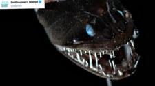 Ryby głębinowe: Odkryto najczarniejsze stworzenia świata