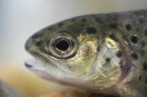 Ryby na haju. Dzikie zwierzęta uzależniają się od narkotyków w ściekach