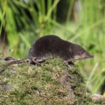 Ryjówka: Pożyteczny ssak, który zjada najgorsze szkodniki