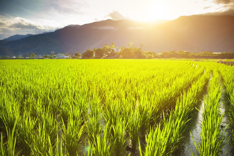 Ryż na farmie ekologicznej /123RF/PICSEL