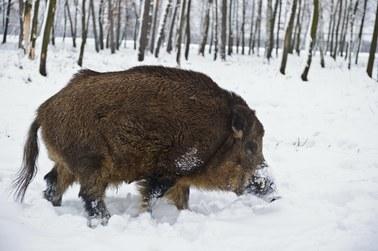 Rząd: Dodatkowa pomoc za szkody wyrządzone przez dziki