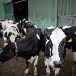 Rząd przeznaczy prawie 600 zł na krowę i 24 zł na tucznika