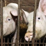 Rząd zajmie się przepisami o uboju zwierząt