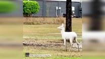 Rzadki jeleń albinos przechadzał się po osiedlu
