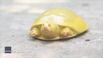 Rzadki żółty żółw uratowany z pola ryżowego w Bengalu