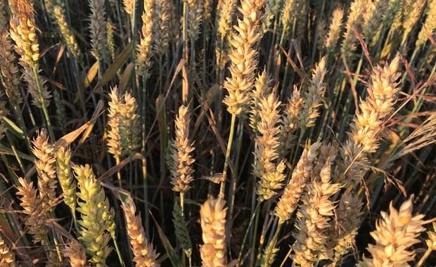 Rządowa pomoc dla rolników poszkodowanych przez suszę mniejsza, niż oczekiwali