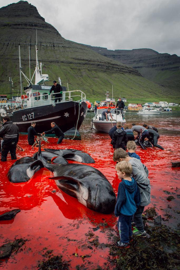 Rzezi delfinów przyglądają się także dzieci z Wysp Owczych / VW Pics / Contributor /Getty Images