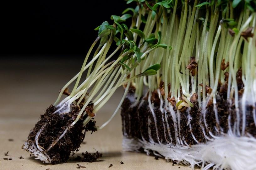 Rzeżucha dostarcza witamin /©123RF/PICSEL
