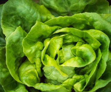 Rzymska, masłowa, lodowa czy rukola: Która sałata jest najlepsza?