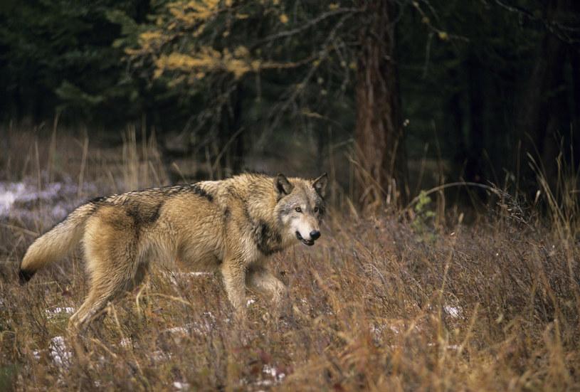 Są wyniki sekcji dwóch wilków odstrzelonych pod Brzozowem, zdj. ilustracyjne /Grambo Photography /East News
