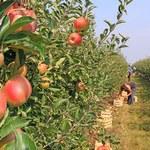 Sadownicy chcą gwarancji ceny skupu owoców