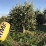 Sadownicy: Na ziemi leżą dywany jabłek, tak bardzo obrodziły