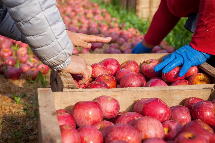 Sadownicy nie otrzymali pieniędzy za setki ton jabłek (zdj. ilustracyjne) /123RF/PICSEL
