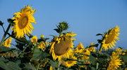 Sadzenie i pielęgnacja słoneczników