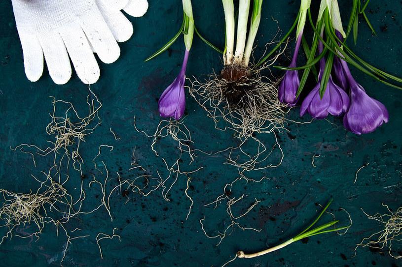 Sadzenie krokusów /©123RF/PICSEL