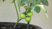"""Sadzenie pomidorów, czyli """"ogródkowanie"""" z Mają Popielarską"""