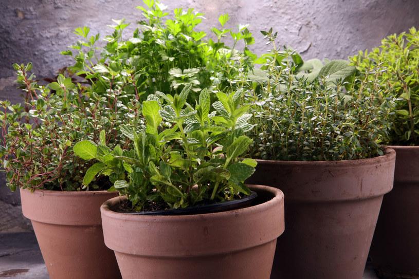 Sadzonki wyrosną nie tylko w doniczkach. Udadzą się też w pojemnikach po lodach, serkach, jogurtach /123RF/PICSEL