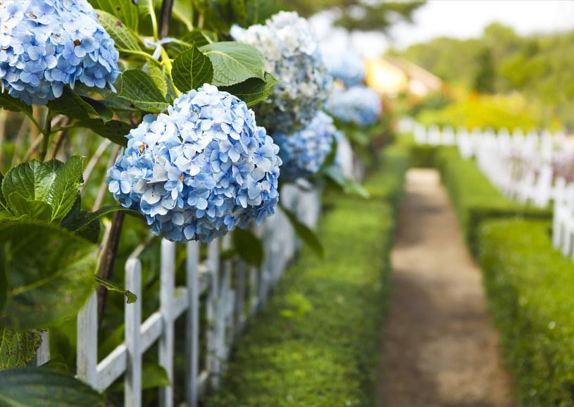 Sadzono gęsto hortensja i odpowiednio przycinana po zimie stworzy gęstą ścianę z kwiatostanem /123RF/PICSEL
