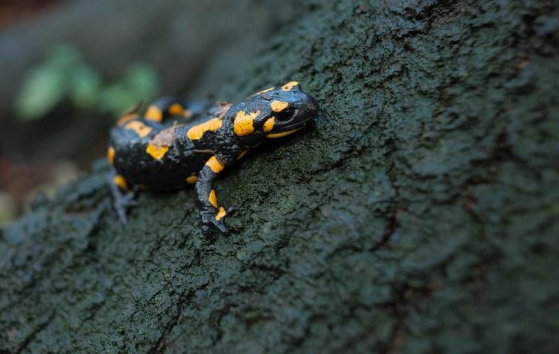 Salamandra plamista w Bieszczadach /East News