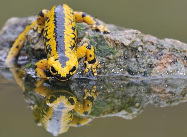 Salamandry skrywają sekret regeneracji. Czy naukowcy kiedykolwiek go poznają? /123RF/PICSEL