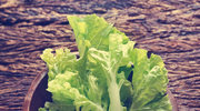 Sałata, królowa wiosennych warzyw