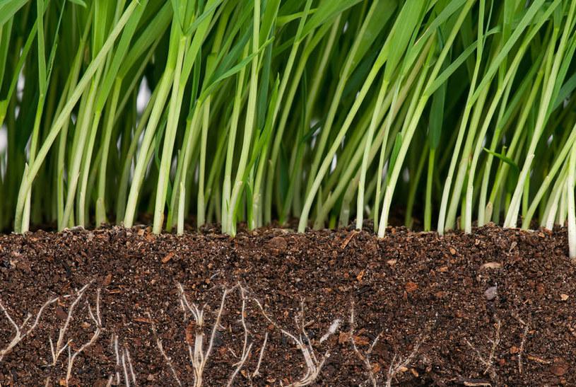 Saletra amonowa wpływa pozytywnie na rozrost korzeni