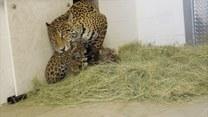 Samica jaguara pochwaliła się młodymi