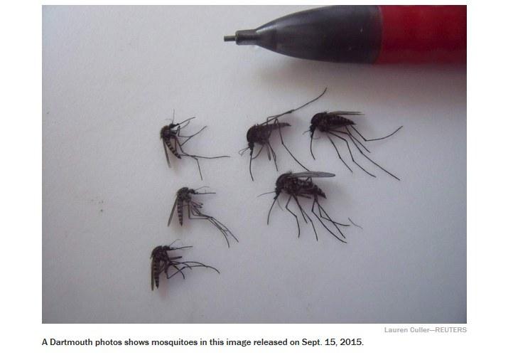 Samice gigantycznych komarów przywiezione z Grenlandii /dartmouth.edu /