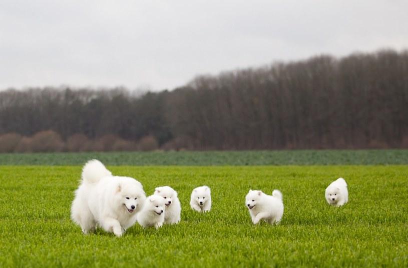 """Samoyed często bywa określany jako """"pies-chmurka"""" z uwagi na swój charakterystyczny wygląd /123RF/PICSEL"""