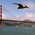 San Francisco boi się komórek