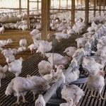 Sanepid ujawnia listę sklepów, do których trafiło skażone mięso