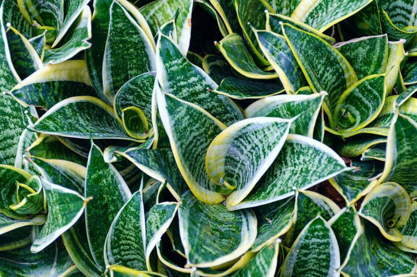 """Sansewieria, wężownica, """"język teściowej"""" - to roślina, która nie sprawia większego kłopotu /123RF/PICSEL"""