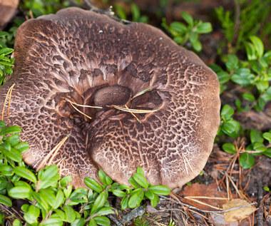 Sarniak dachówkowaty: Co to za grzyb? Czy nadaje się do jedzenia?