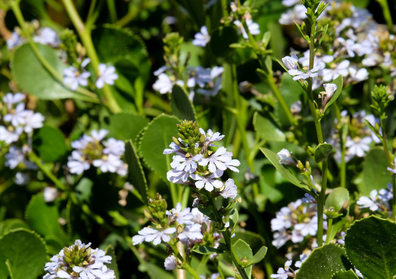 Scewola szczelnie pokrywa się różnokolorowymi kwiatami /123RF/PICSEL