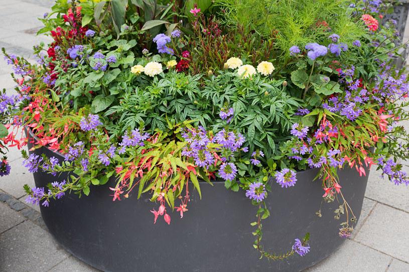Scewolę warto zestawiać z innymi, dekoracyjnymi gatunkami roślin /123RF/PICSEL