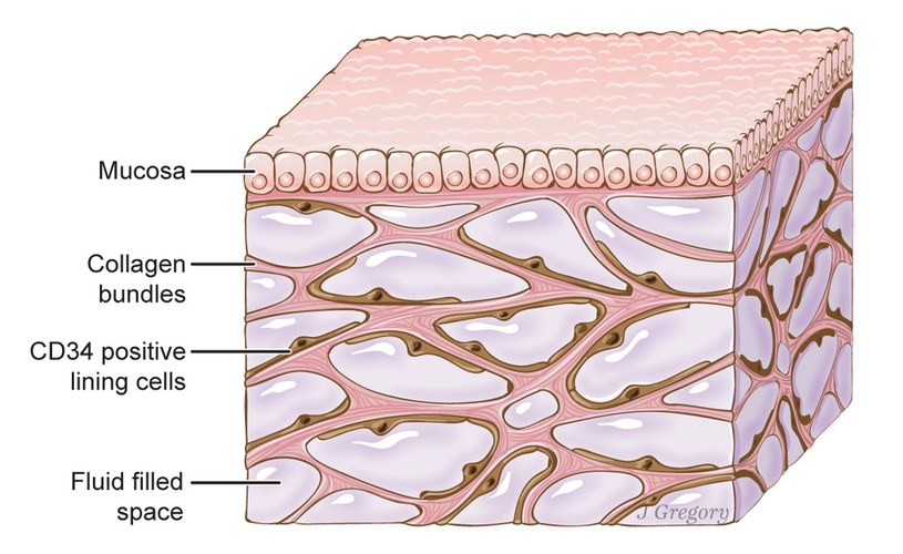 Schemat tkanki śródmiąższowej /materiały prasowe
