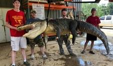 Schwytali olbrzymiego aligatora. W jego żołądku znaleźli prawdziwe skarby